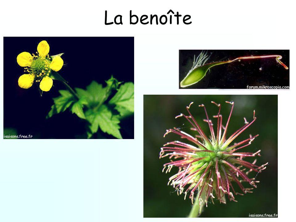 La benoîte forum.mikroscopia.com isaisons.free.fr
