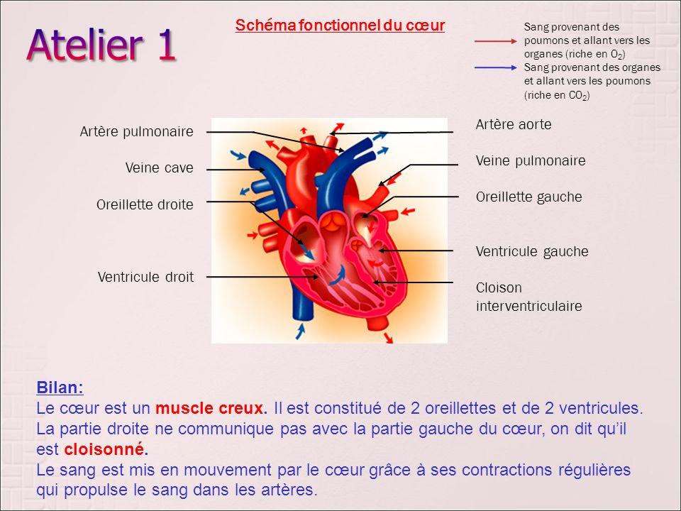 Artère aorte Veine pulmonaire Oreillette gauche Ventricule gauche Cloison interventriculaire Artère pulmonaire Veine cave Oreillette droite Ventricule