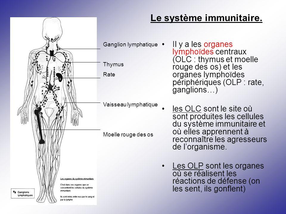 Il y a les organes lymphoïdes centraux (OLC : thymus et moelle rouge des os) et les organes lymphoïdes périphériques (OLP : rate, ganglions…) les OLC