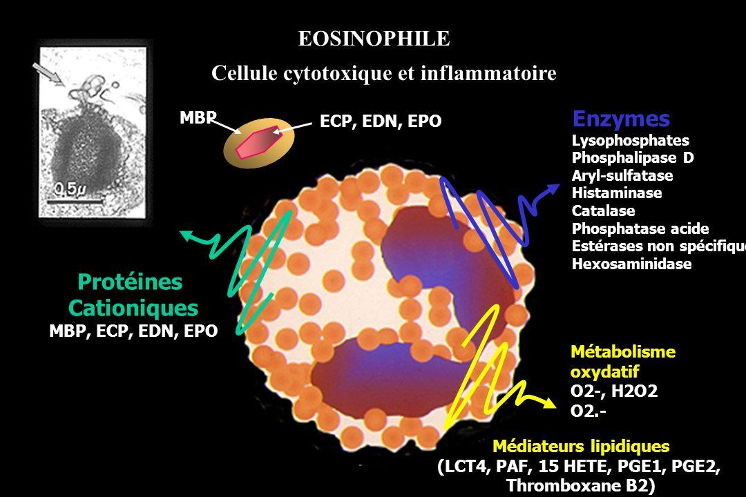 EOSINOPHILE Cellule cytotoxique et inflammatoire Métabolisme oxydatif O2-, H2O2 O2.- Médiateurs lipidiques (LCT4, PAF, 15 HETE, PGE1, PGE2, Thromboxan