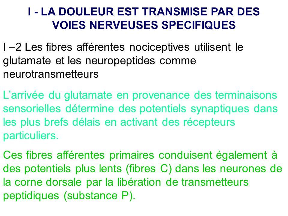I –2 Les fibres afférentes nociceptives utilisent le glutamate et les neuropeptides comme neurotransmetteurs Larrivée du glutamate en provenance des t