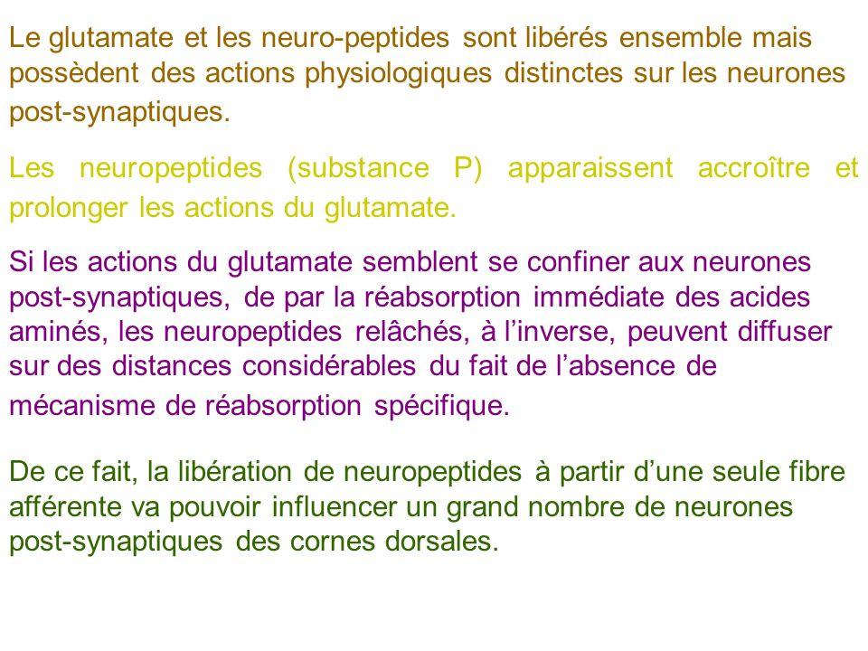 Le glutamate et les neuro-peptides sont libérés ensemble mais possèdent des actions physiologiques distinctes sur les neurones post-synaptiques. Les n