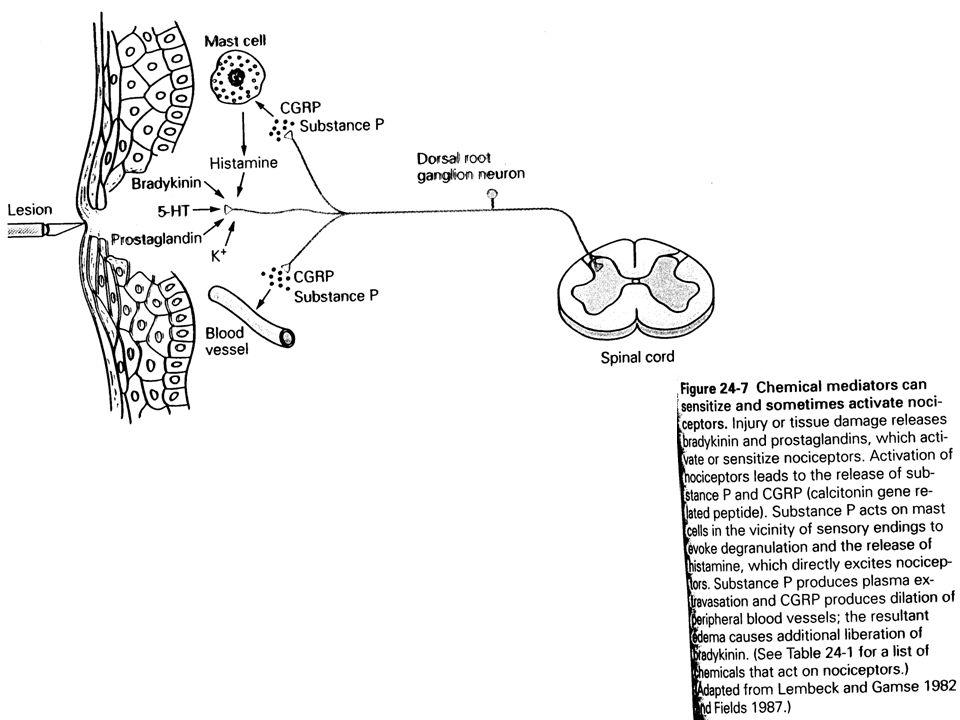 La réponse aux ions K+ est particulièrement intéressante parce que la plupart des dommages tissulaires ont pour effet daugmenter la concentration extracellulaire en K+.