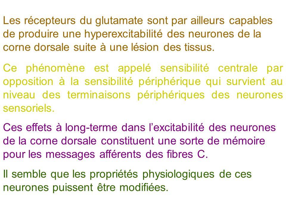 Les récepteurs du glutamate sont par ailleurs capables de produire une hyperexcitabilité des neurones de la corne dorsale suite à une lésion des tissu