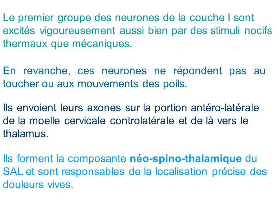 Le premier groupe des neurones de la couche I sont excités vigoureusement aussi bien par des stimuli nocifs thermaux que mécaniques. En revanche, ces