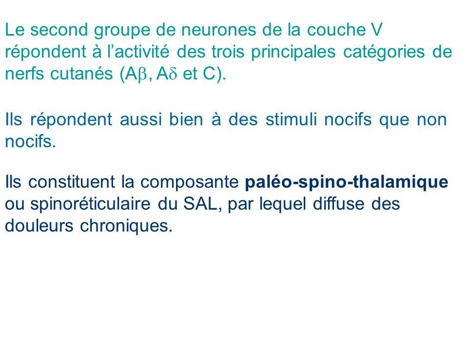 Le second groupe de neurones de la couche V répondent à lactivité des trois principales catégories de nerfs cutanés (A, A et C). Ils répondent aussi b