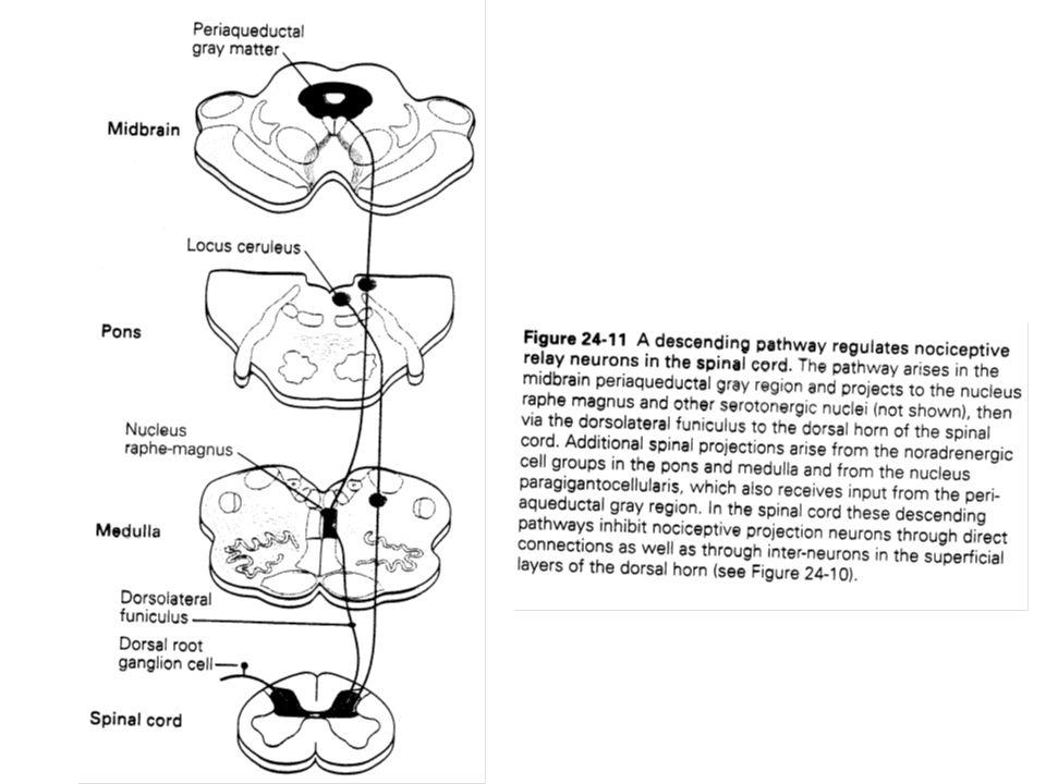 V –2 Lanalgésie produite par stimulation est liée à lanalgésie opiacée V - LE MECANISME DE LANALGESIE Les sites et les mécanismes de lanalgésie par morphine sont assez semblables à celle produite par stimulation.