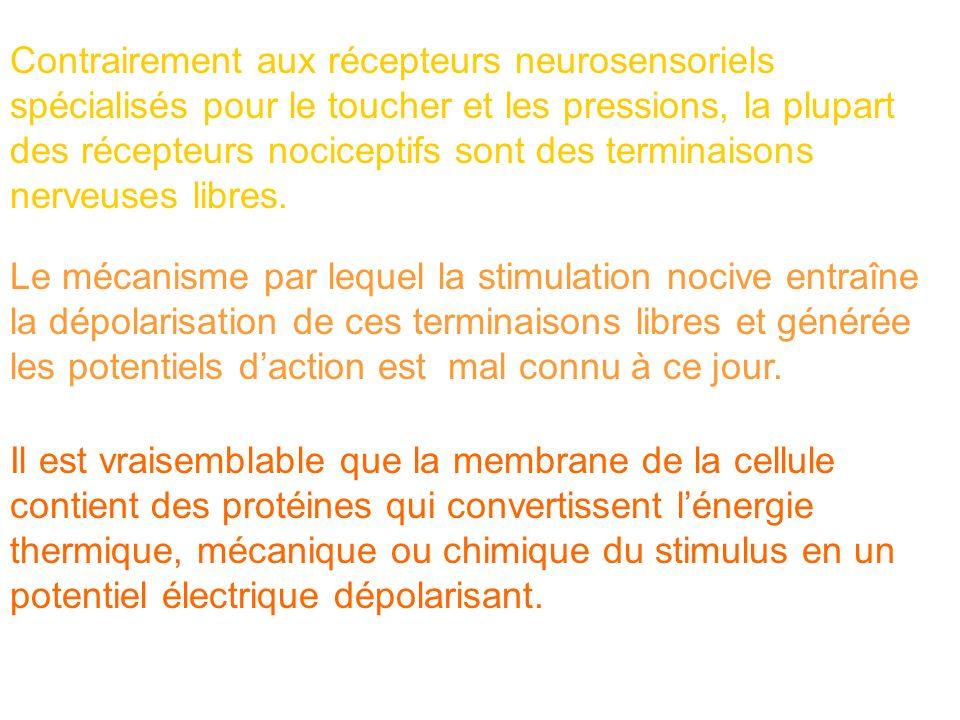 Contrairement aux récepteurs neurosensoriels spécialisés pour le toucher et les pressions, la plupart des récepteurs nociceptifs sont des terminaisons