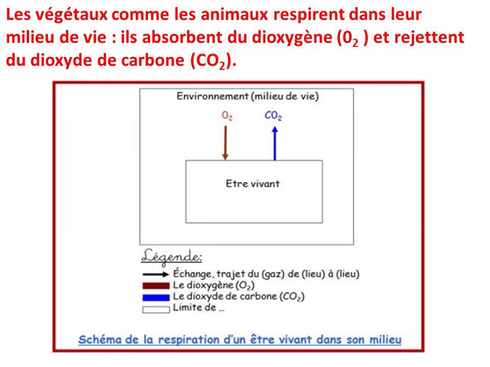 Les végétaux comme les animaux respirent dans leur milieu de vie : ils absorbent du dioxygène (0 2 ) et rejettent du dioxyde de carbone (CO 2 ).