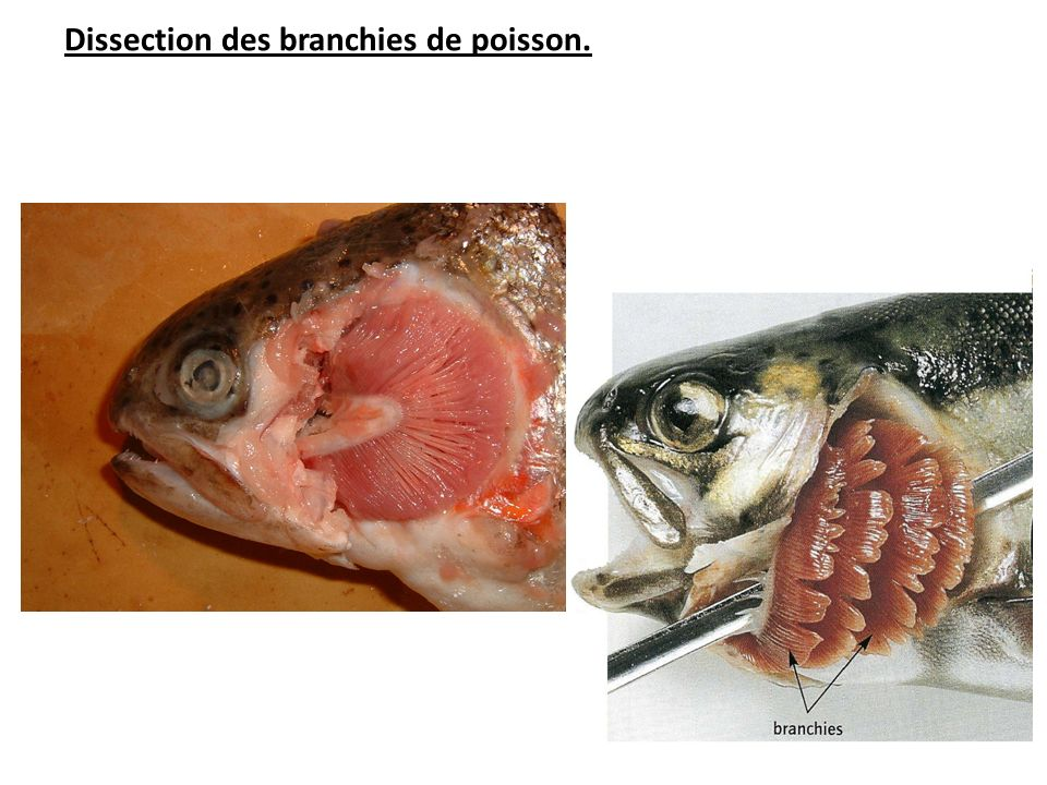 Dissection des branchies de poisson.