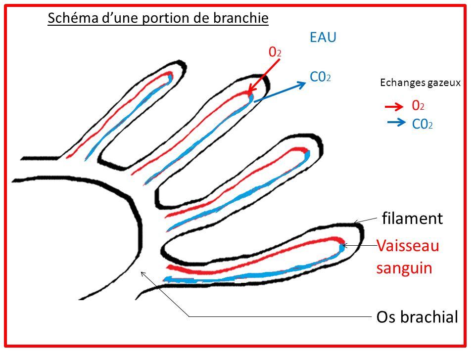 Schéma dune portion de branchie filament Vaisseau sanguin Os brachial Echanges gazeux 0202 C0 2 EAU C0 2 0202