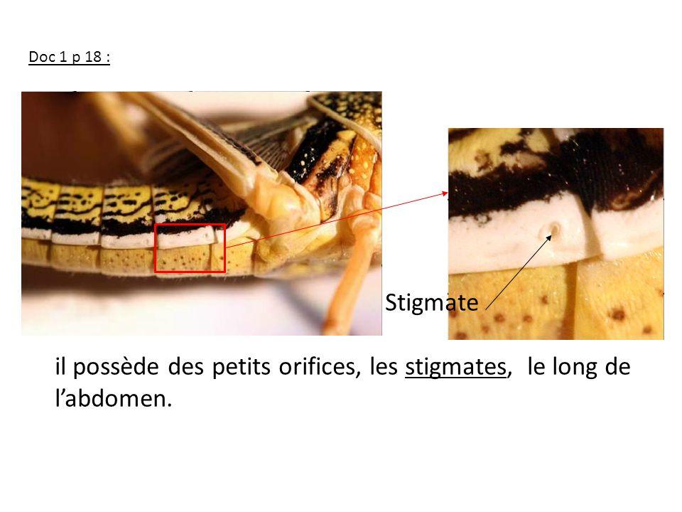 Stigmate il possède des petits orifices, les stigmates, le long de labdomen. Doc 1 p 18 :.