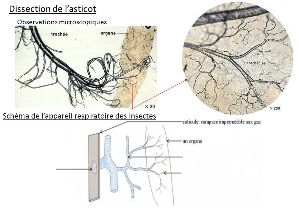 Dissection de lasticot Schéma de lappareil respiratoire des insectes. Observations microscopiques