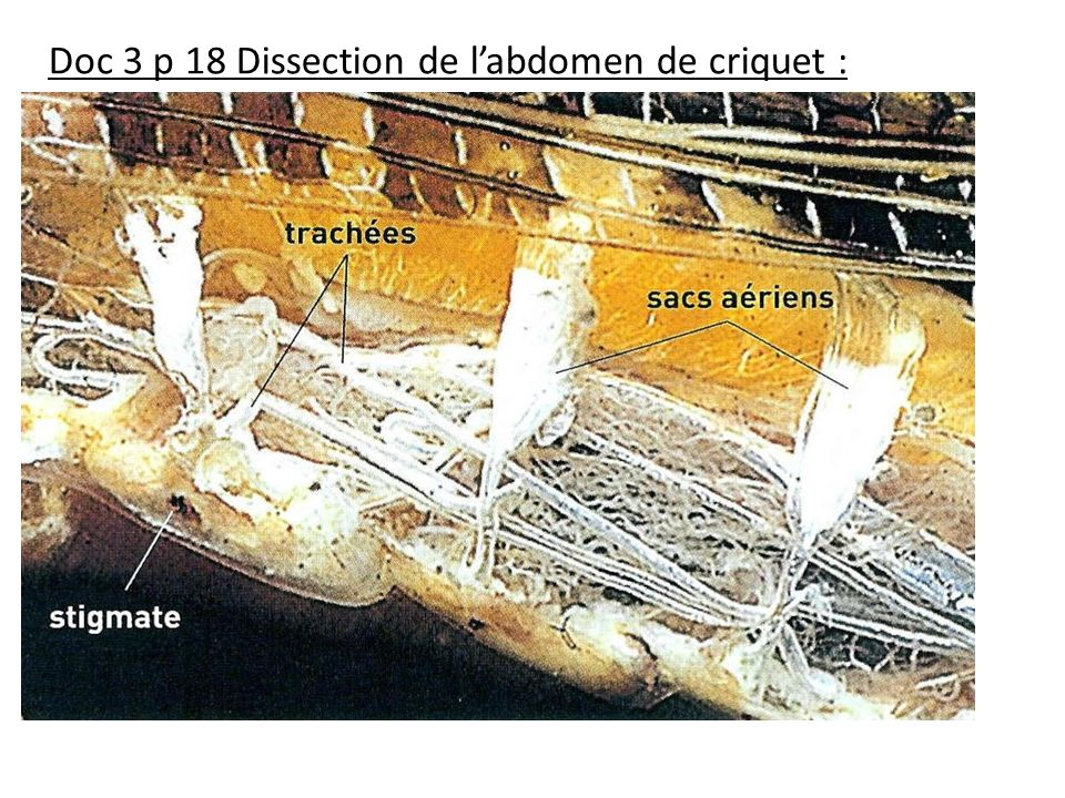 Doc 3 p 18 Dissection de labdomen de criquet :