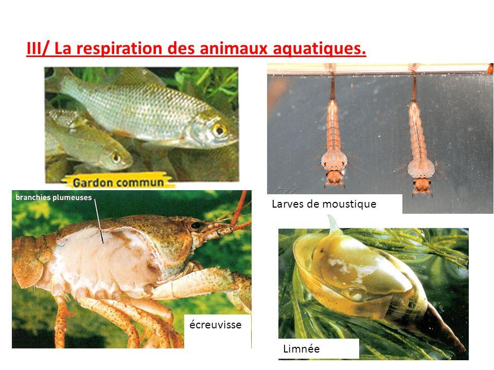 III/ La respiration des animaux aquatiques. écreuvisse e Larves de moustique Limnée