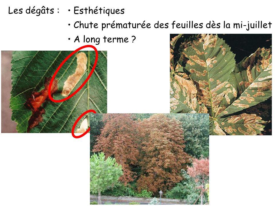 Problème biologique Cycle de la mineuse : 3 générations par an oeuf larve (5 stades) pupe adulte pupe dhivernage C. ohridella Cycle de vie