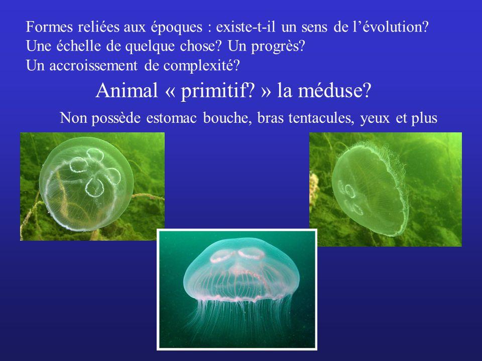 Animal « primitif? » la méduse? Non possède estomac bouche, bras tentacules, yeux et plus Formes reliées aux époques : existe-t-il un sens de lévoluti