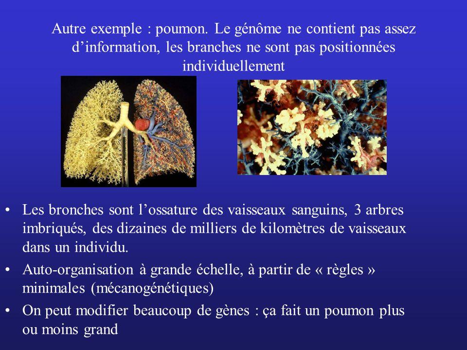 Autre exemple : poumon. Le génôme ne contient pas assez dinformation, les branches ne sont pas positionnées individuellement Les bronches sont lossatu