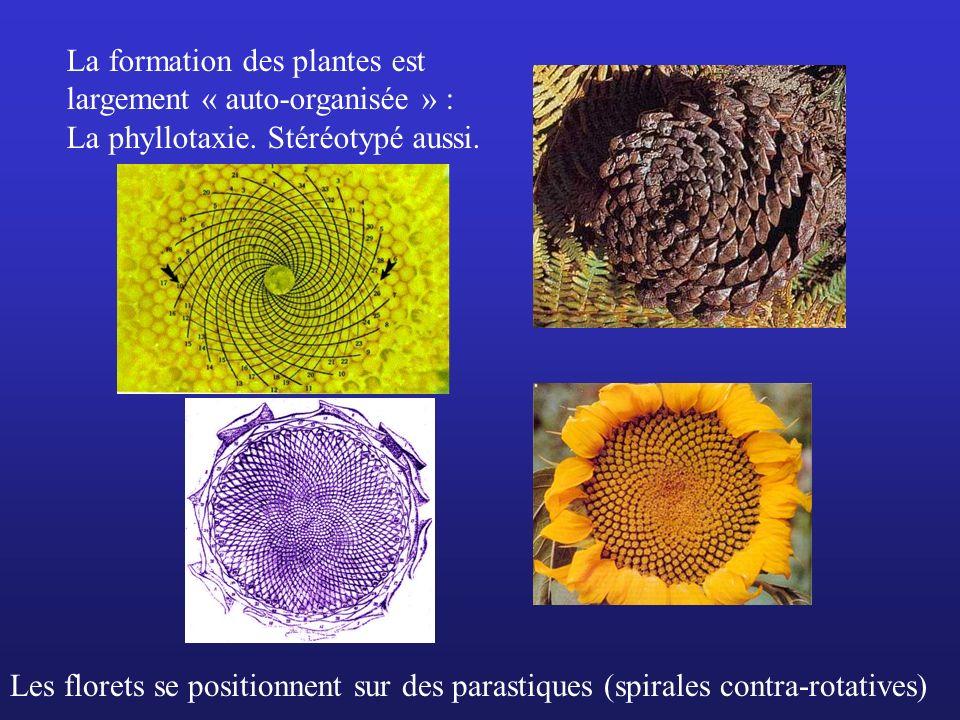 La formation des plantes est largement « auto-organisée » : La phyllotaxie. Stéréotypé aussi. Les florets se positionnent sur des parastiques (spirale