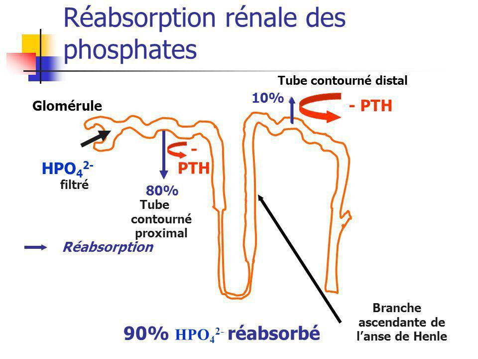 Réabsorption rénale des phosphates HPO 4 2- filtré Tube contourné proximal Tube contourné distal Branche ascendante de lanse de Henle 80% 10% 90% HPO