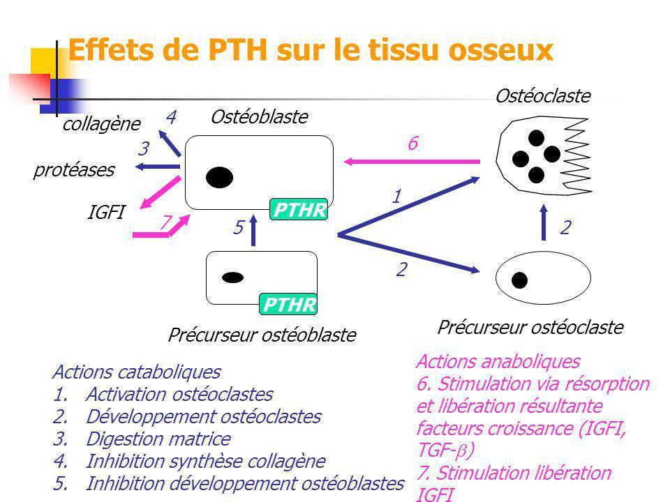 PTHR Ostéoblaste Ostéoclaste Précurseur ostéoblaste Précurseur ostéoclaste Actions cataboliques 1.Activation ostéoclastes 2.Développement ostéoclastes
