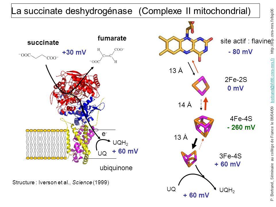 Structure : Iverson et al., Science (1999) 2Fe-2S 4Fe-4S 3Fe-4S site actif : flavine La succinate deshydrogénase (Complexe II mitochondrial) 0 mV - 26