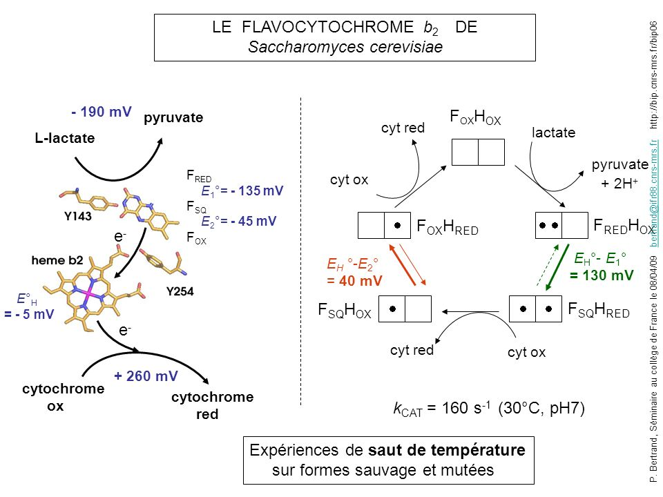 LE FLAVOCYTOCHROME b 2 DE Saccharomyces cerevisiae L-lactate pyruvate - 190 mV cytochrome ox cytochrome red + 260 mV F RED H OX lactate pyruvate + 2H + F SQ H RED F SQ H OX F OX H RED cyt ox cyt red cyt ox cyt red E H °- E 1 ° = 130 mV E° H = - 5 mV E H °-E 2 ° = 40 mV e-e- e-e- Expériences de saut de température sur formes sauvage et mutées k CAT = 160 s -1 (30°C, pH7) F OX H OX F RED E 1 °= - 135 mV F SQ E 2 °= - 45 mV F OX P.