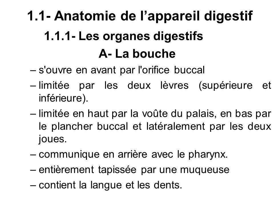 1.1- Anatomie de lappareil digestif 1.1.1- Les organes digestifs A- La bouche –s'ouvre en avant par l'orifice buccal –limitée par les deux lèvres (sup