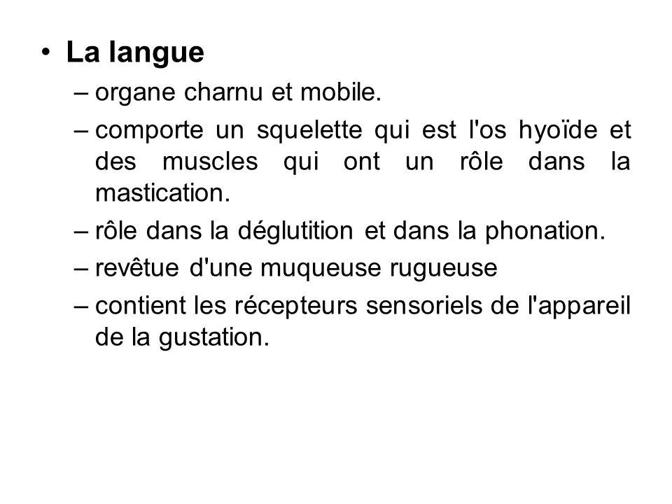 La langue –organe charnu et mobile. –comporte un squelette qui est l'os hyoïde et des muscles qui ont un rôle dans la mastication. –rôle dans la déglu