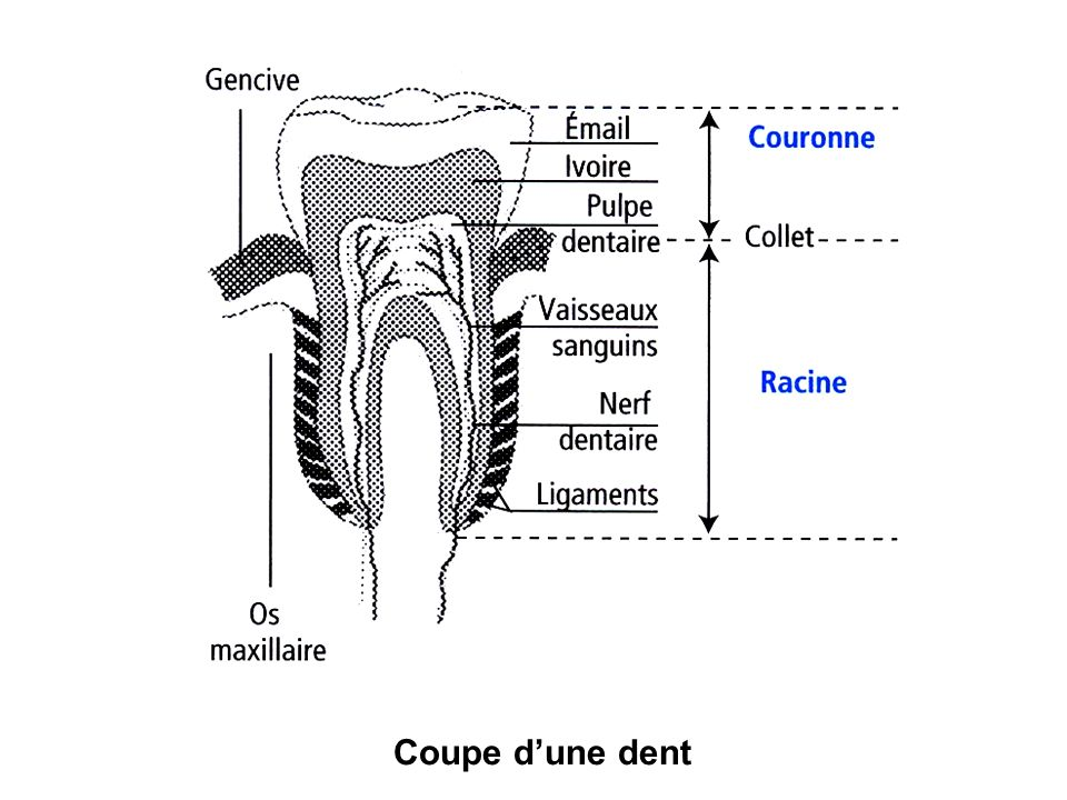 Coupe dune dent