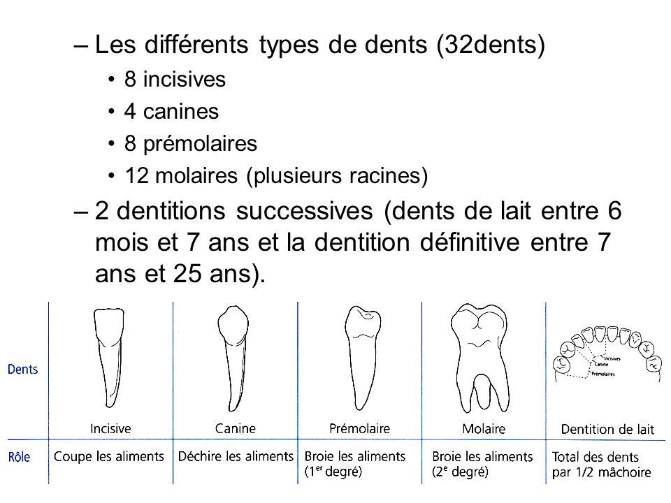 –Les différents types de dents (32dents) 8 incisives 4 canines 8 prémolaires 12 molaires (plusieurs racines) –2 dentitions successives (dents de lait