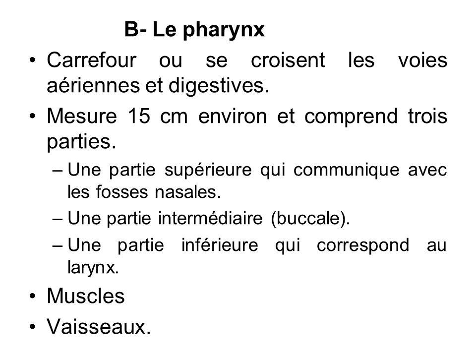 B- Le pharynx Carrefour ou se croisent les voies aériennes et digestives. Mesure 15 cm environ et comprend trois parties. –Une partie supérieure qui c