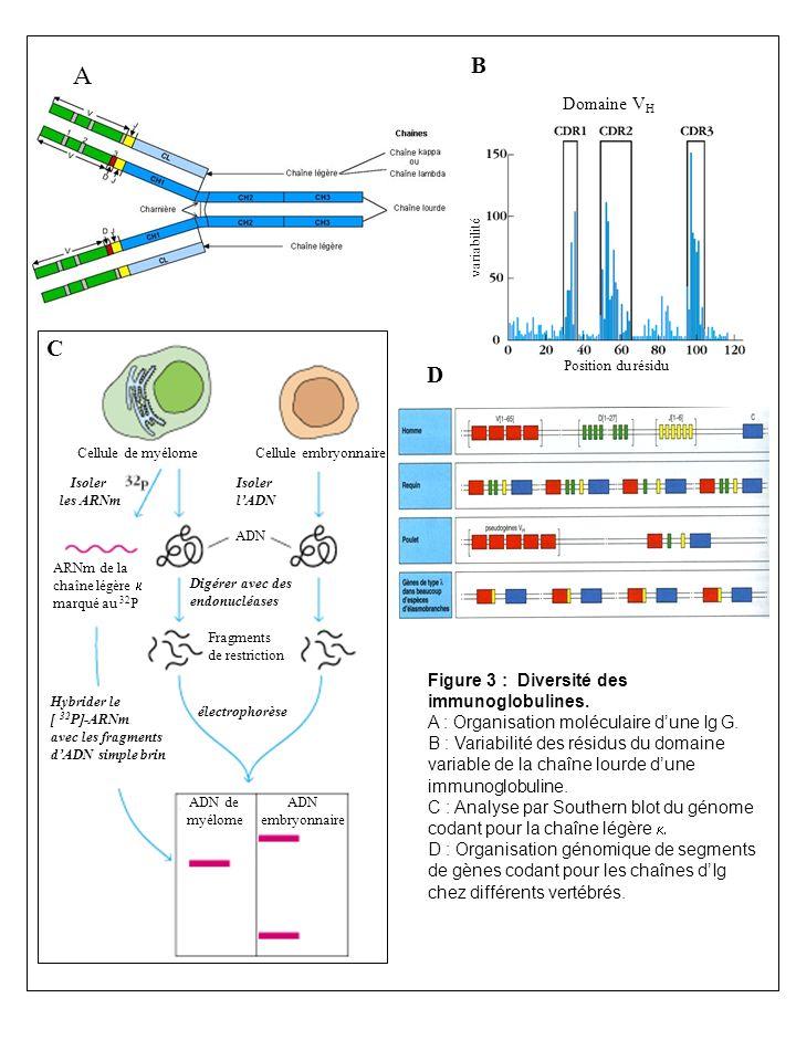 Domaine V H Position du résidu variabilité B A D Figure 3 : Diversité des immunoglobulines. A : Organisation moléculaire dune Ig G. B : Variabilité de
