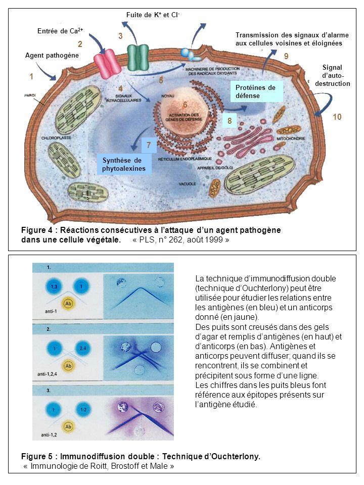 Figure 5 : Immunodiffusion double : Technique dOuchterlony. « Immunologie de Roitt, Brostoff et Male » La technique dimmunodiffusion double (technique