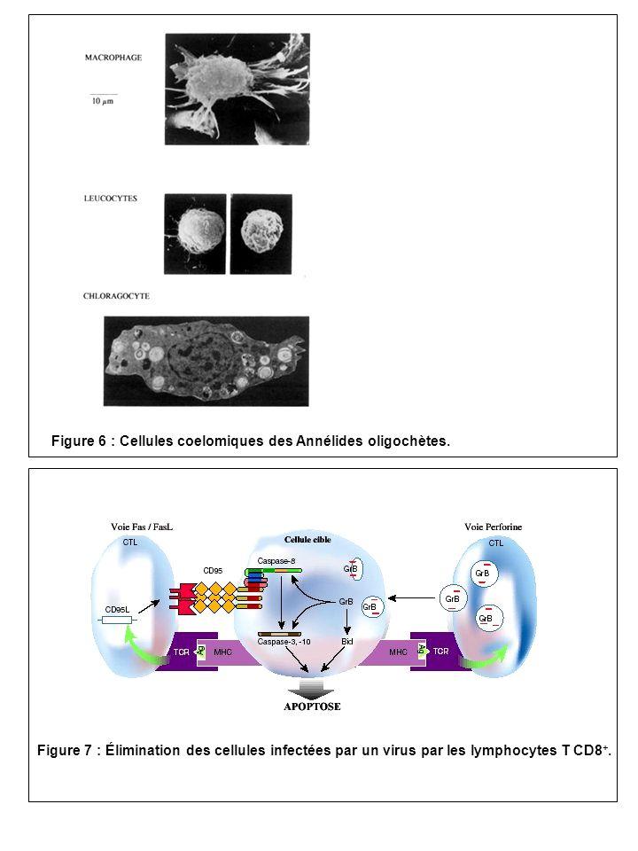 Figure 7 : Élimination des cellules infectées par un virus par les lymphocytes T CD8 +. Figure 6 : Cellules coelomiques des Annélides oligochètes.