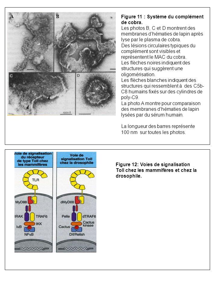 Figure 11 : Système du complément de cobra. Les photos B, C et D montrent des membranes dhématies de lapin après lyse par le plasma de cobra. Des lési