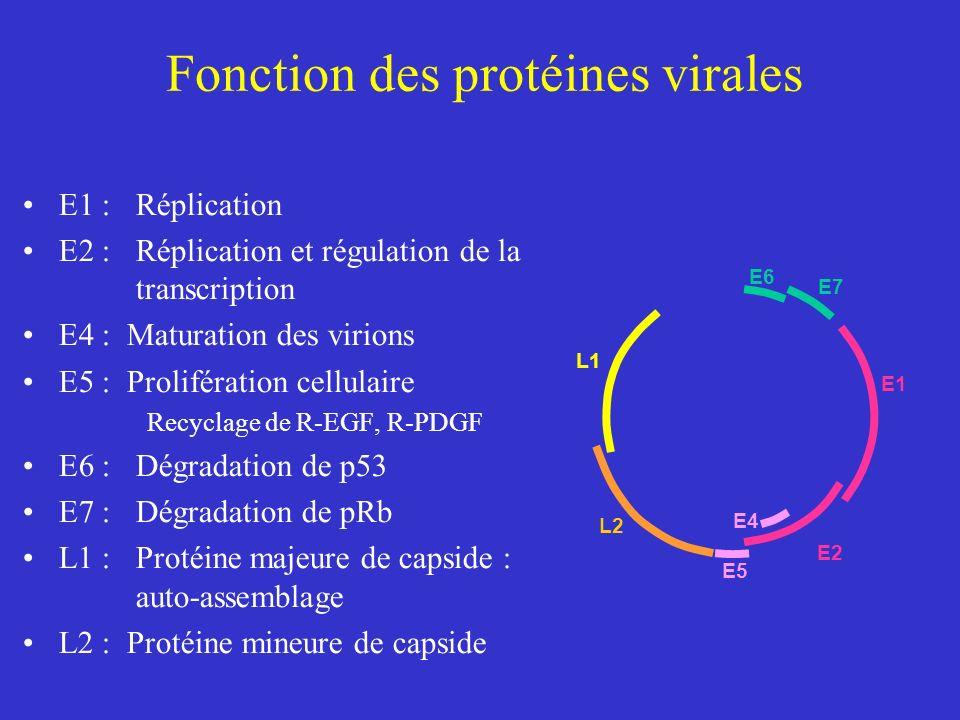 Fonction des protéines virales E1 : Réplication E2 : Réplication et régulation de la transcription E4 : Maturation des virions E5 : Prolifération cell