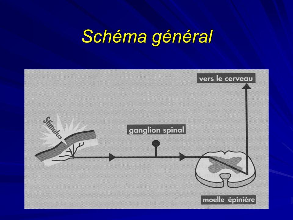 Myorelaxants et antispastiques Myorelaxants: –utilisés dans les contractures réflexes dun muscle ou dun groupe musculaire en rapport à une afférence douloureuse, dans un SN normal (rhumatologie++) –2 grandes familles: non benzodiazépiniques (Décontractyl, Miorel, Coltramyl…) benzodiazépiniques = tétrazépam (Myolastan, Panos), diazépam (Valium)… qui sont sédatifs et dutilisation problématique au long court (accoutumance, tolérance) Antispastiques: –utilisés pour la résolution des contractions réflexes inappropriées de la musculature striée ou dune hypertonie dorigine pyramidale, responsable de spasticité, douloureuse souvent et gênant la rééducation ou la motricité (lésions souvent centrales) –dantrolène (Dantrium) et le baclofène (Liorésal) –une spasticité résiduelle doit parfois être conservée (motricité)