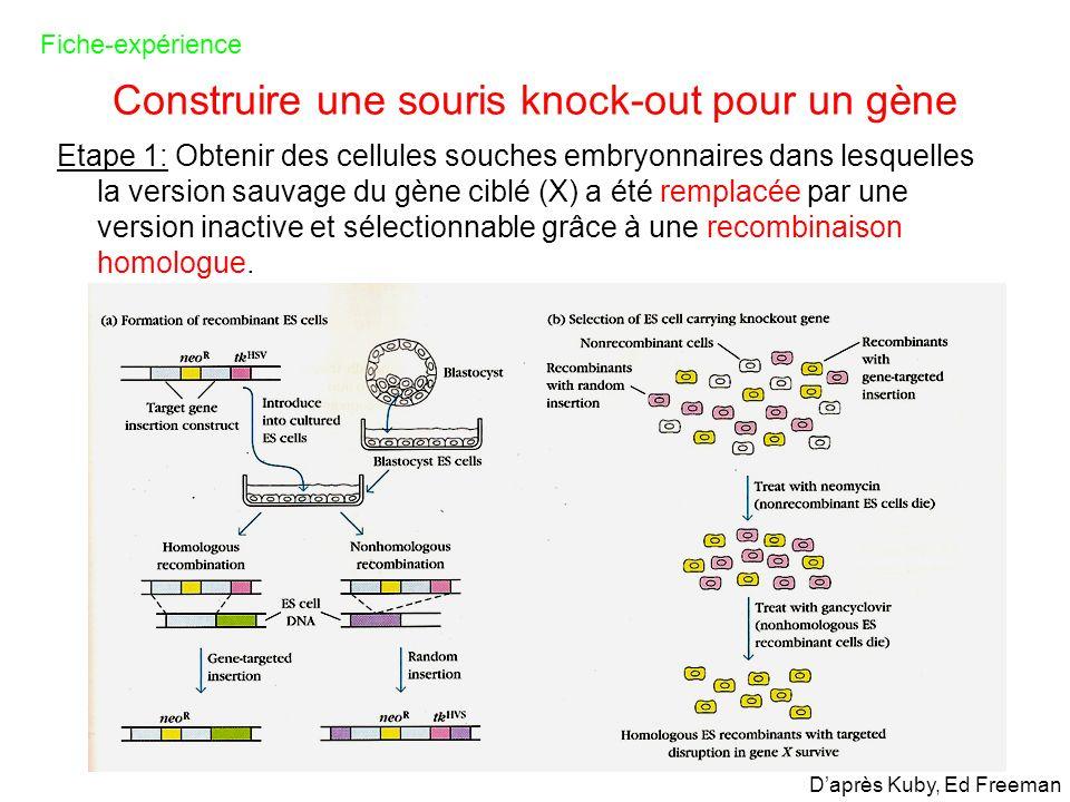 Construire une souris knock-out pour un gène Etape 1: Obtenir des cellules souches embryonnaires dans lesquelles la version sauvage du gène ciblé (X)