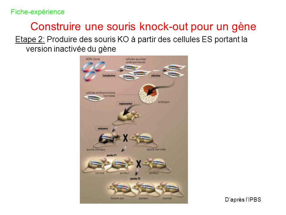 Construire une souris knock-out pour un gène Etape 2: Produire des souris KO à partir des cellules ES portant la version inactivée du gène Fiche-expér