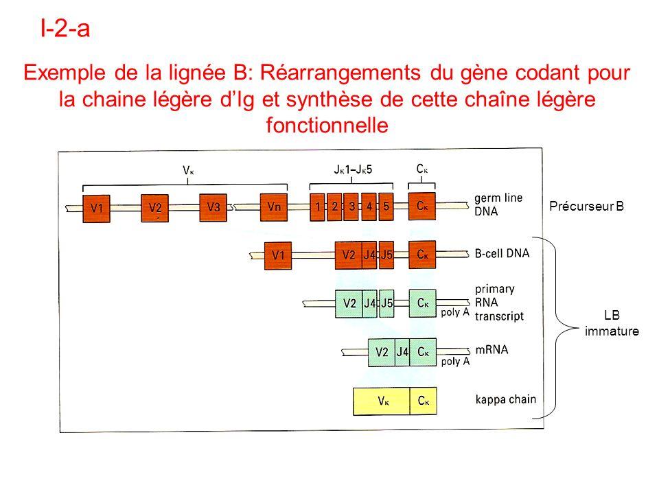 I-2-a Exemple de la lignée B: Réarrangements du gène codant pour la chaine légère dIg et synthèse de cette chaîne légère fonctionnelle Précurseur B LB