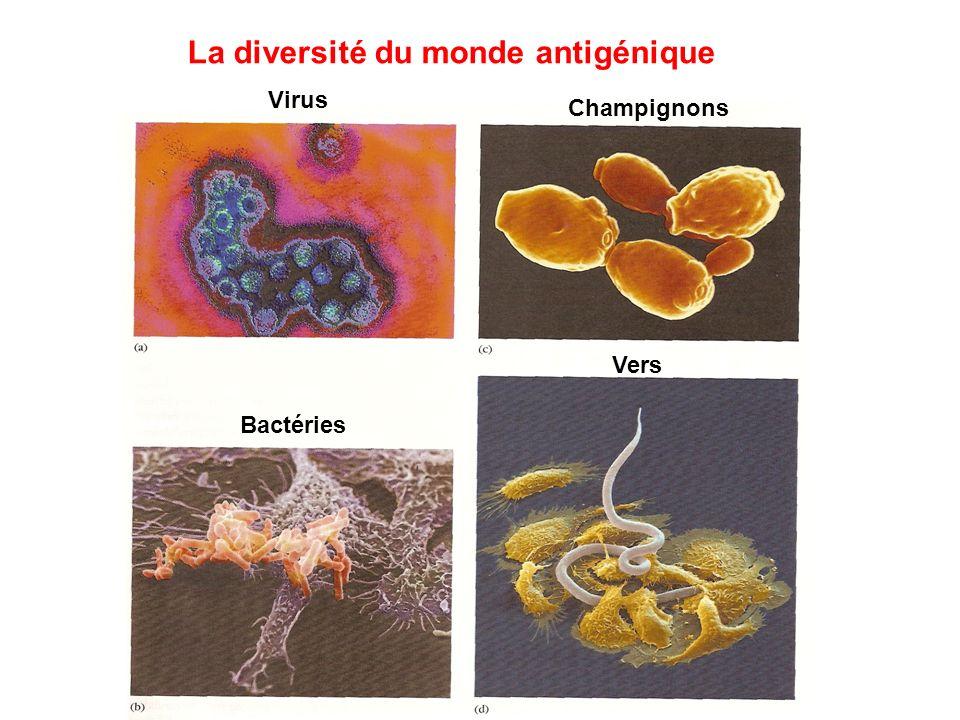La diversité du monde antigénique Virus Bactéries Champignons Vers
