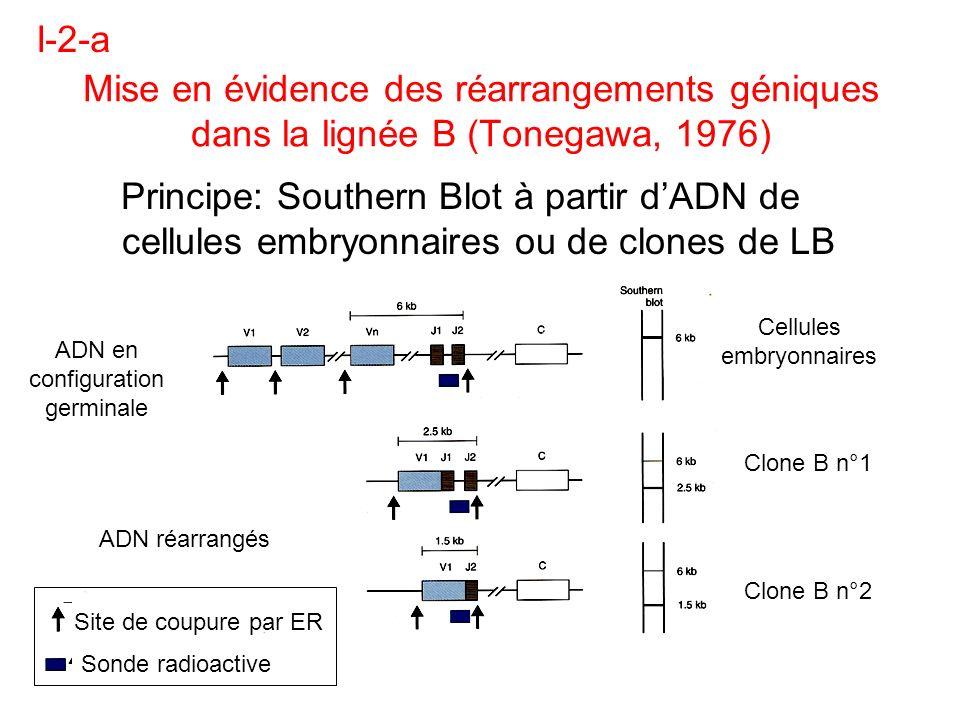 Mise en évidence des réarrangements géniques dans la lignée B (Tonegawa, 1976) Principe: Southern Blot à partir dADN de cellules embryonnaires ou de c