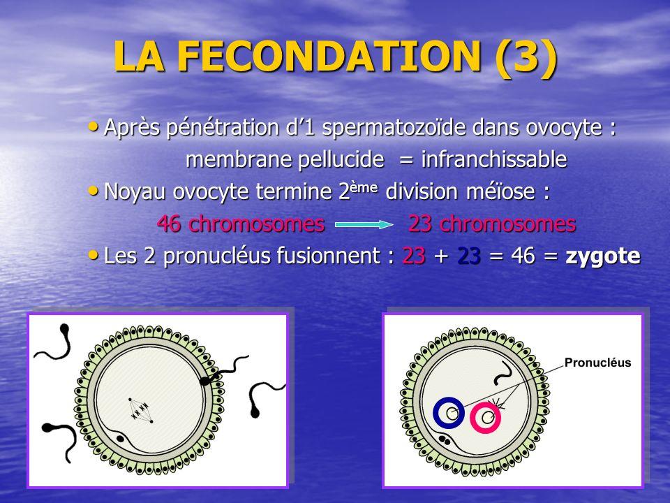 LA FECONDATION (3) Après pénétration d1 spermatozoïde dans ovocyte : Après pénétration d1 spermatozoïde dans ovocyte : membrane pellucide = infranchis