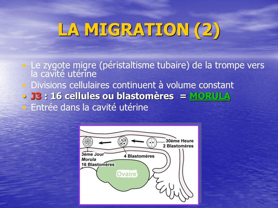 LA MIGRATION (2) Le zygote migre (péristaltisme tubaire) de la trompe vers la cavité utérine Divisions cellulaires continuent à volume constant J3 : 1