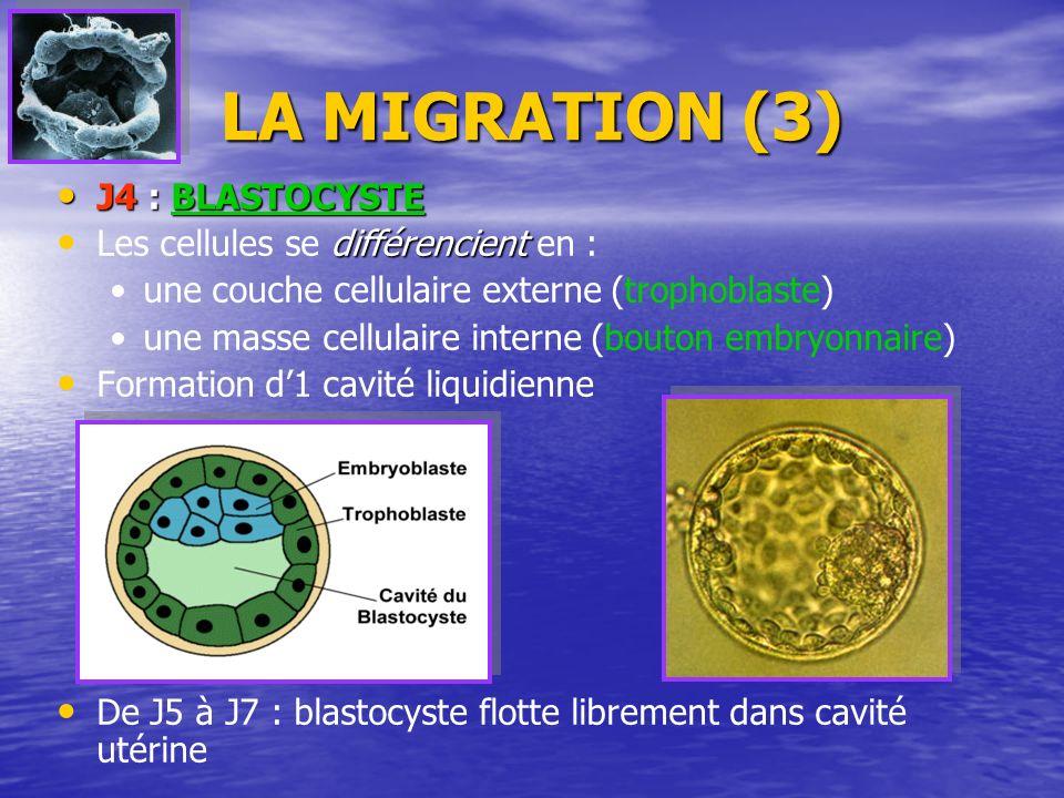 LA MIGRATION (3) J4 : BLASTOCYSTE Les cellules se d dd différencient en : une couche cellulaire externe (trophoblaste) une masse cellulaire interne (b