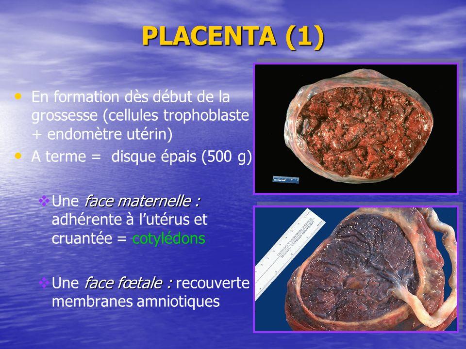 PLACENTA (1) En formation dès début de la grossesse (cellules trophoblaste + endomètre utérin) A terme = disque épais (500 g) face maternelle : Une fa