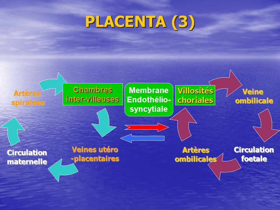 PLACENTA (3) Veines utéro - placentaires Circulationmaternelle Artères spiralées spiralées Veineombilicale CirculationfoetaleArtèresombilicales Membra