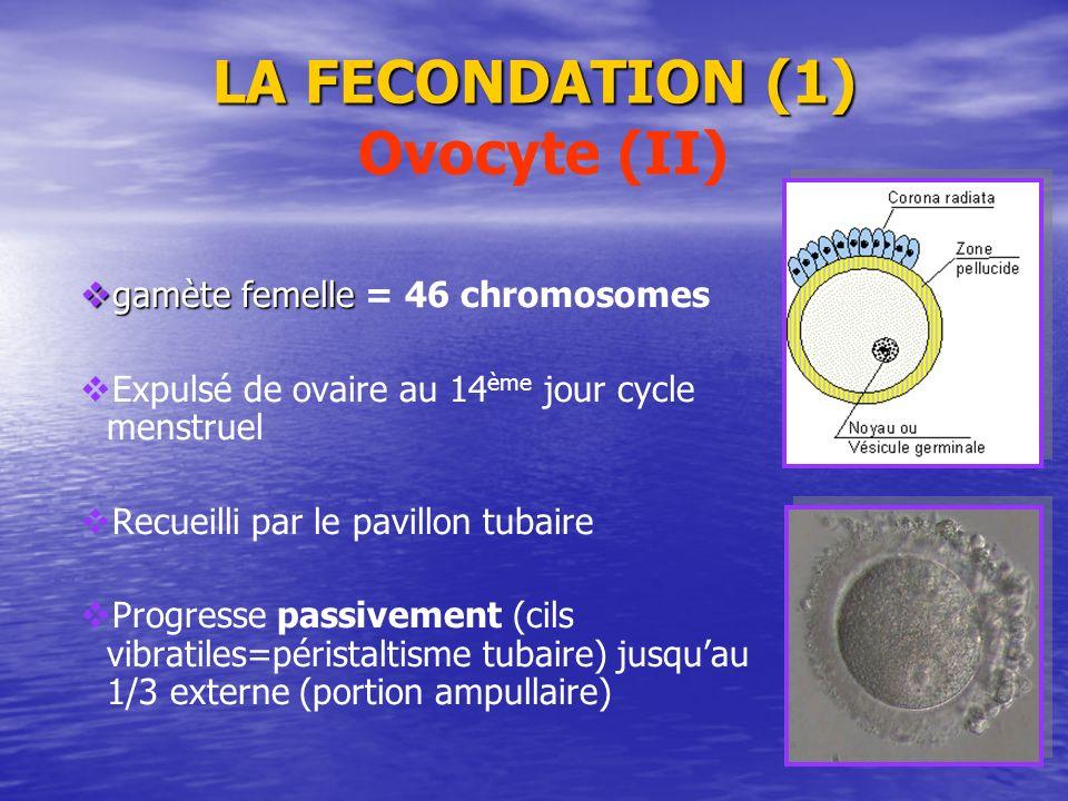 LA FECONDATION (1) LA FECONDATION (1) Ovocyte (II) gamète femelle = 46 chromosomes Expulsé de ovaire au 14 ème jour cycle menstruel Recueilli par le p