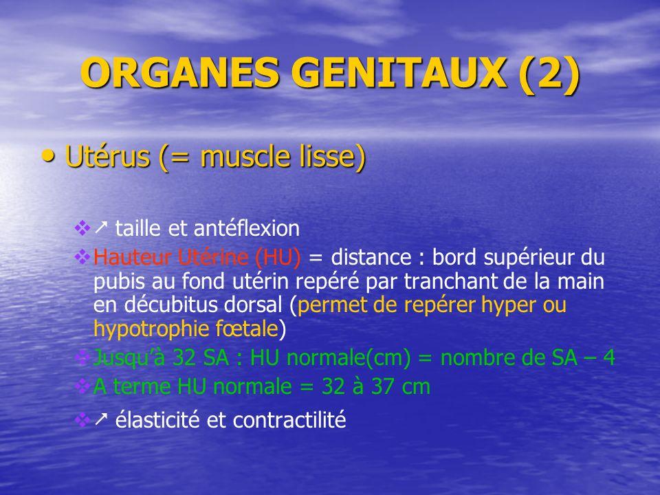 ORGANES GENITAUX (2) Utérus (= muscle lisse) Utérus (= muscle lisse) taille et antéflexion Hauteur Utérine (HU) = distance : bord supérieur du pubis a